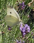 cabbage white image